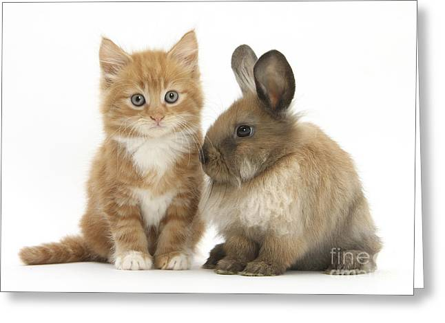 Kitten And Young Rabbit Greeting Card by Mark Taylor