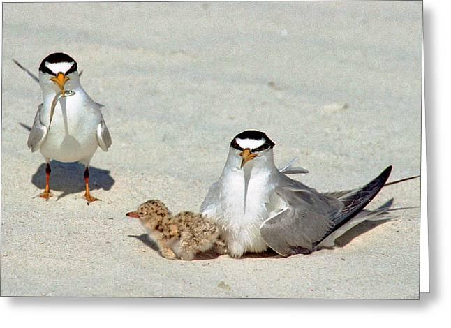 Least Terns Greeting Card