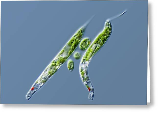 Lepocinclis Protists Greeting Card by Gerd Guenther