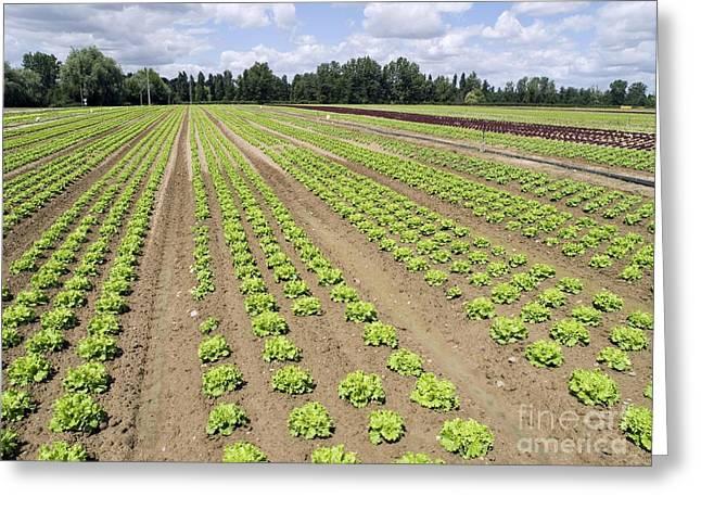 Lettuce Crop Greeting Card by Adrian Bicker