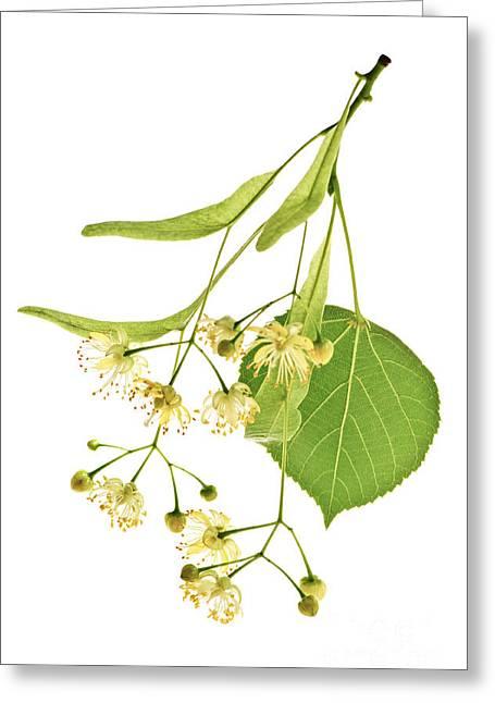 Linden Flower Greeting Card by Elena Elisseeva