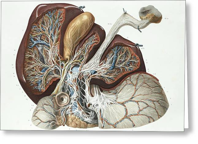 Liver Greeting Card by Science Photo Library