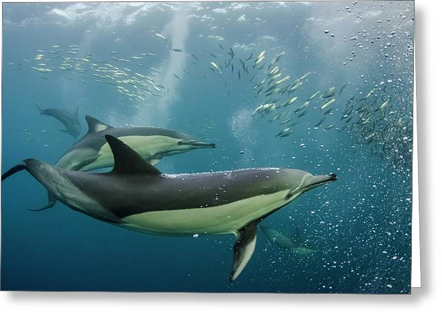 Long-beaked Common Dolphin (delphinus Greeting Card by Pete Oxford