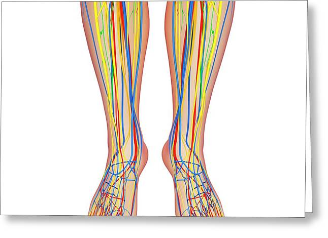 Lower Leg Anatomy Greeting Card by Pixologicstudio/science Photo Library