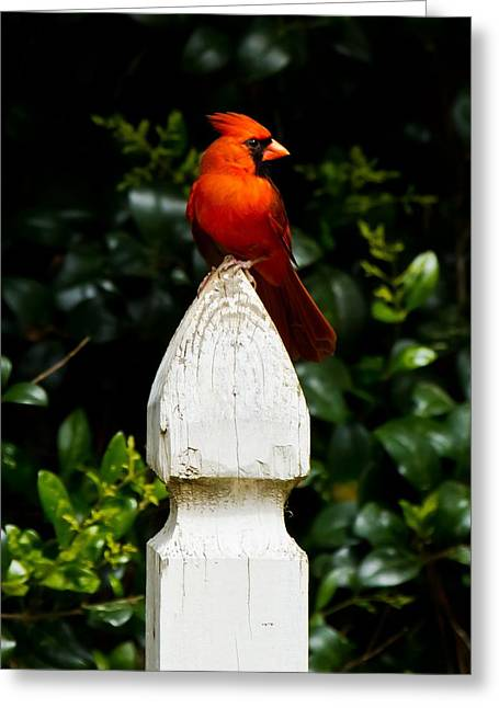 Greeting Card featuring the photograph Male Cardinal by Robert L Jackson
