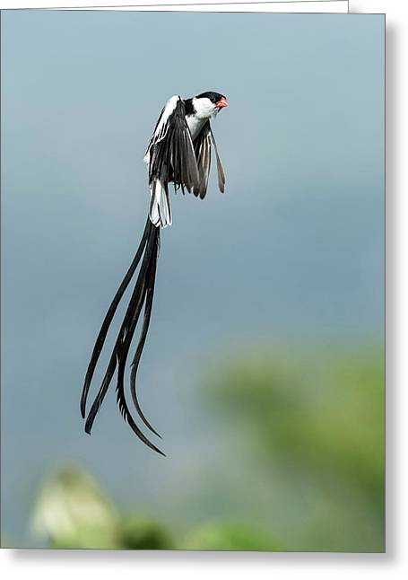 Male Pin-tailed Whydah In Mating Display Greeting Card by Tony Camacho