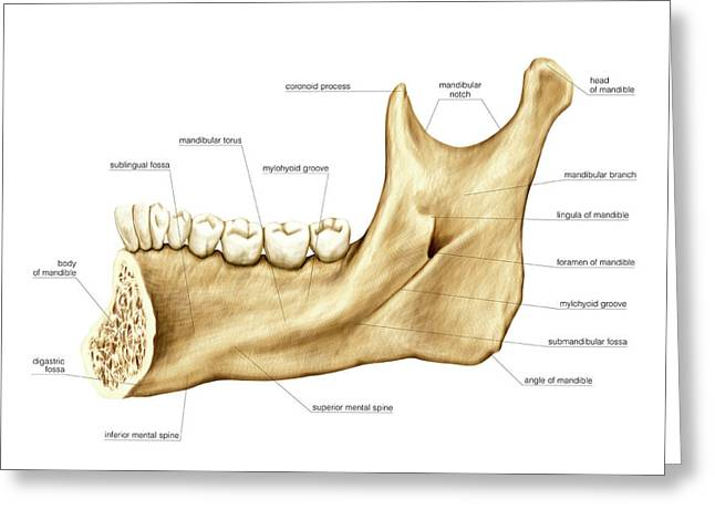 Mandible Greeting Card by Asklepios Medical Atlas