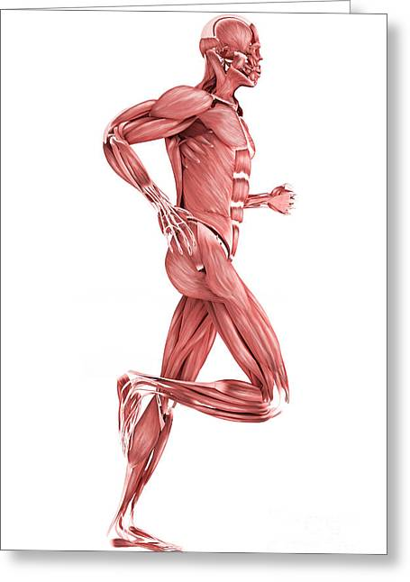 Medical Illustration Of Male Muscles Greeting Card by Stocktrek Images