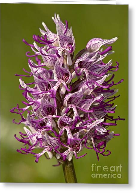 Monkey Orchid Orchis Simia Greeting Card by Bob Gibbons