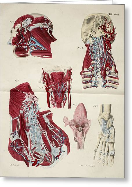 Muscular System Greeting Card by British Library