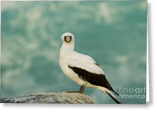 Nazca Booby Greeting Card by William H. Mullins
