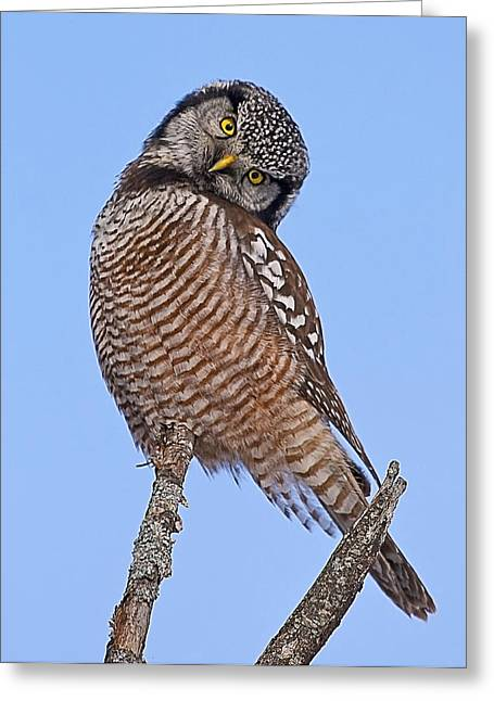 Northern Hawk Owl Greeting Card