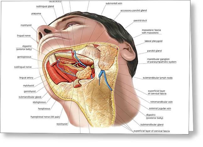 Oral Glands Greeting Card by Asklepios Medical Atlas