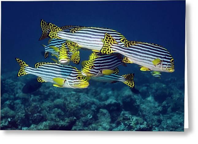 Oriental Sweetlips Fish Greeting Card by Georgette Douwma