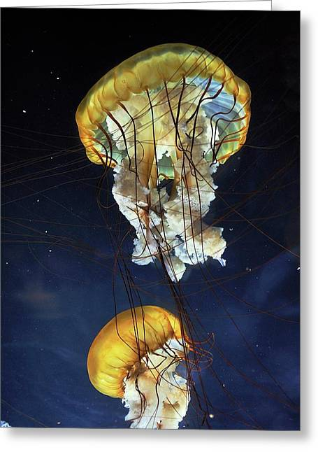 Pacific Sea Nettle Jellyfish Greeting Card by Bildagentur-online/mcphoto-schulz