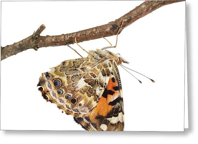 Painted Lady Butterfly Greeting Card by Science Photo Library