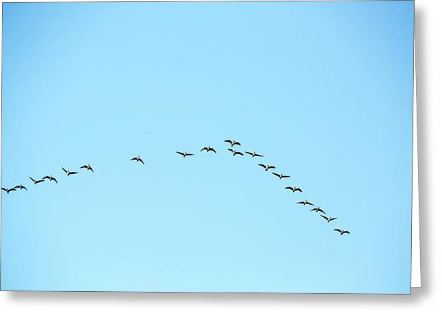 Pink Footed Geese (anser Brachyrhynchus) Greeting Card by Ashley Cooper