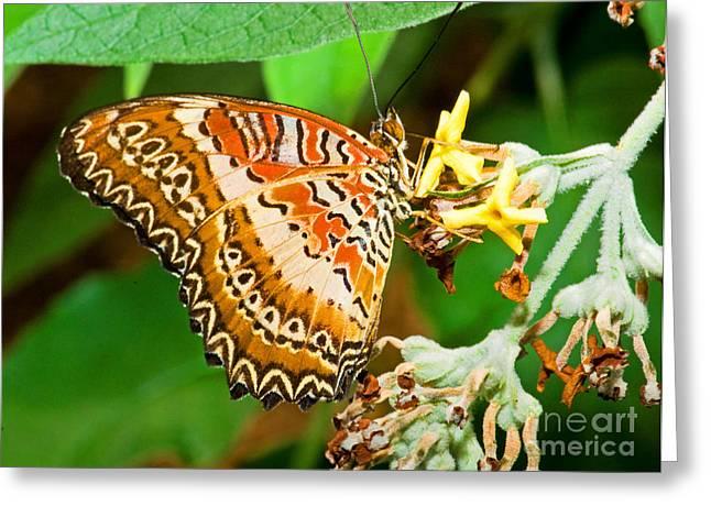 Plain Tiger Butterfly Greeting Card by Millard H. Sharp
