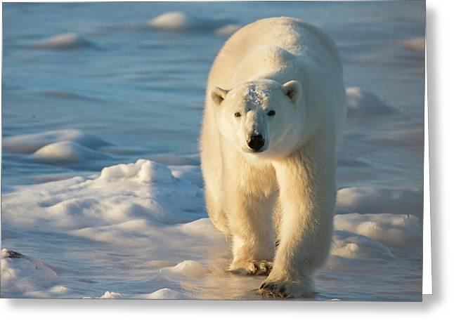 Polar Bear (ursus Maritimus Greeting Card