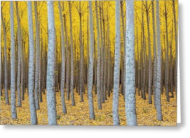 Poplar Plantation In Autumn Greeting Card