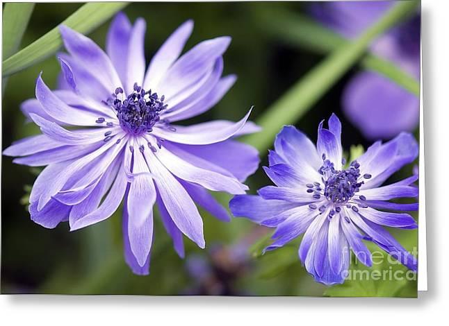 Poppy Anemone Anemone Coronaria Greeting Card