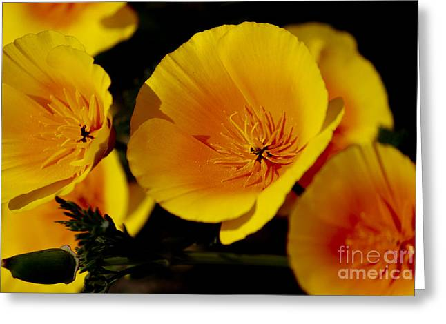 Poppy Flowers Greeting Card by Ivete Basso Photography