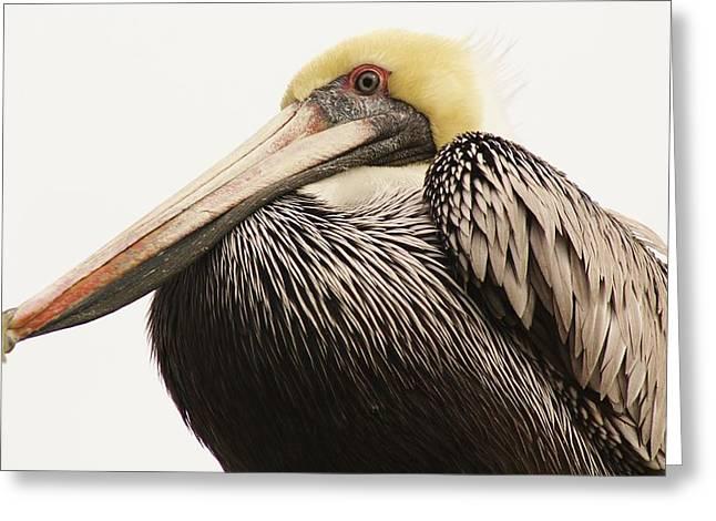 Pretty Pelican Greeting Card by Paulette Thomas