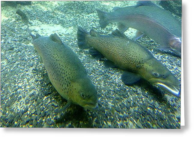 Rainbow Trout Greeting Card by Les Cunliffe