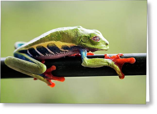 Red-eyed Tree Frog Greeting Card
