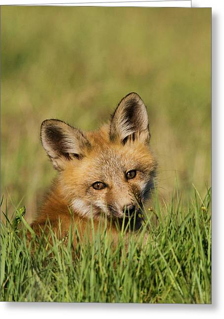 Red Fox Kit Greeting Card by Ken Archer