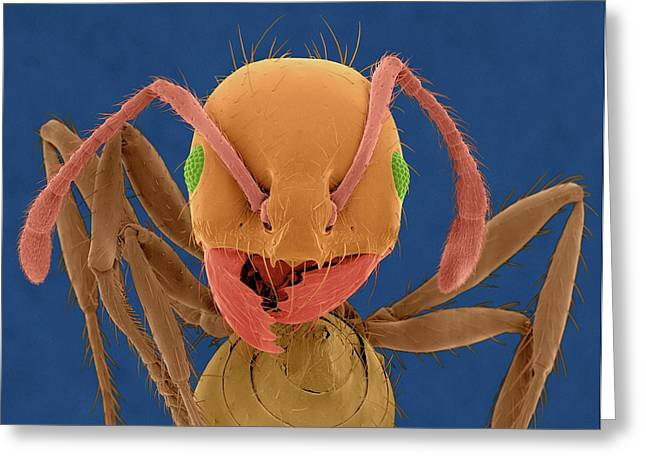 Red Imported Fire Ant Greeting Card