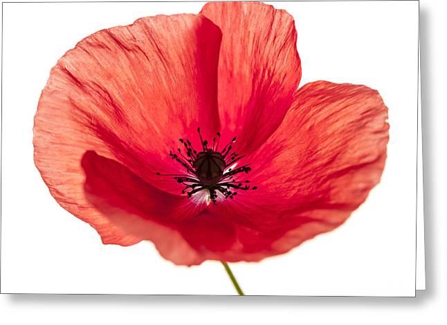 Red Poppy Flower Greeting Card by Elena Elisseeva
