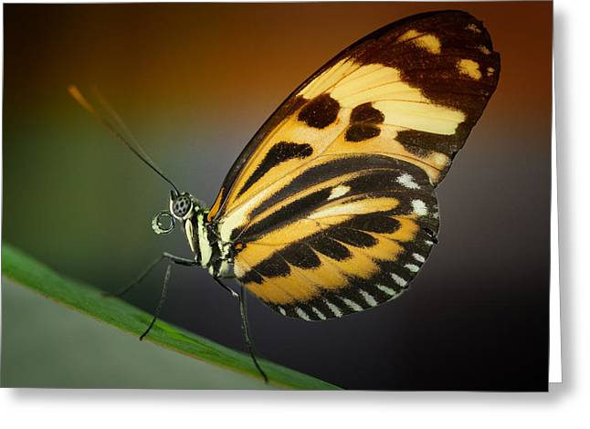 Resting Butterfly Greeting Card by Zoe Ferrie