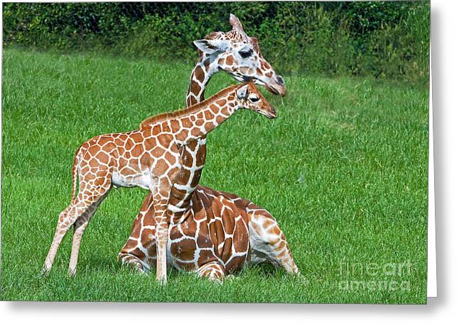 Reticulated Giraffe Calf With Mother Greeting Card by Millard H. Sharp