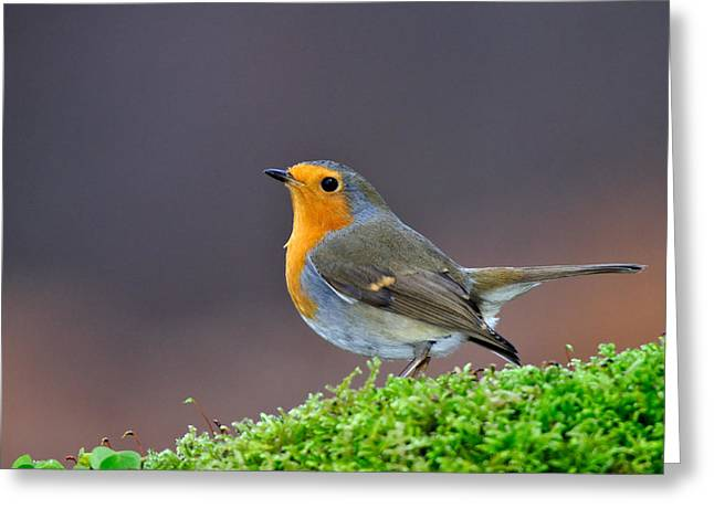 Greeting Card featuring the photograph Robin by Gavin Macrae