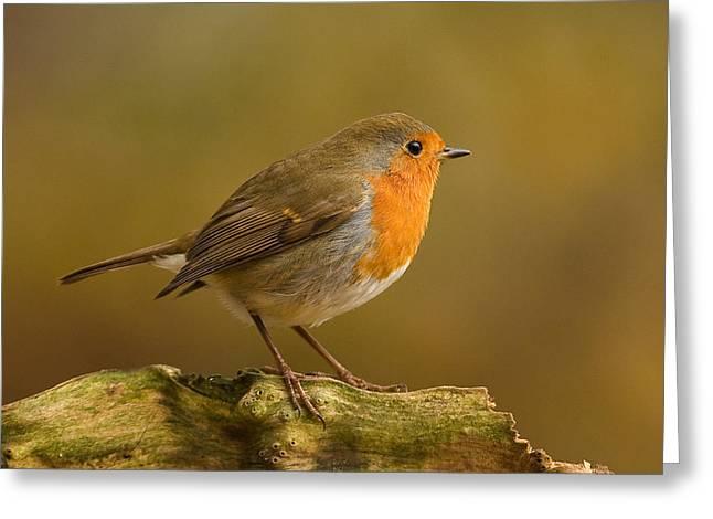 Robin Greeting Card by Paul Scoullar