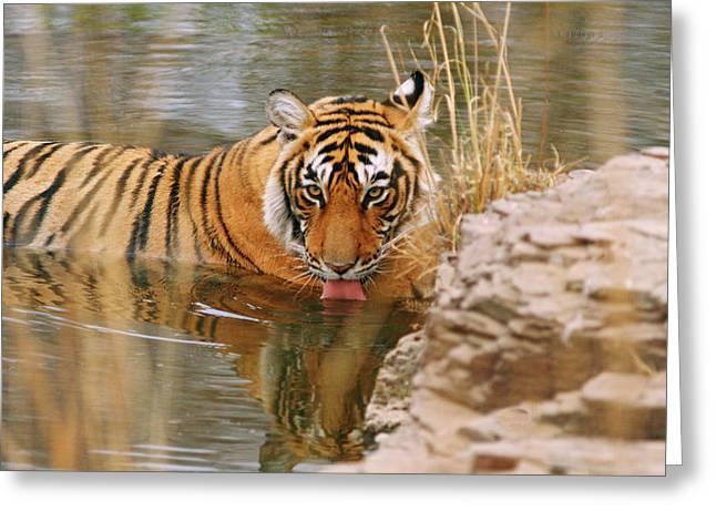 Royal Bengal Tiger Drinking Greeting Card by Jagdeep Rajput