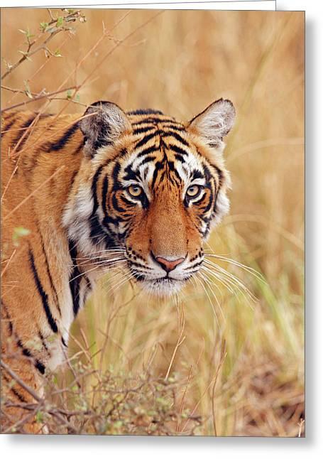 Royal Bengal Tiger Watching Greeting Card by Jagdeep Rajput
