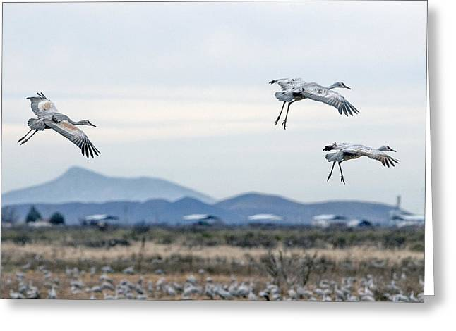 Sandhill Cranes Greeting Card by Tam Ryan