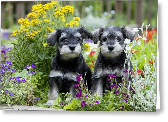 Schnauzer Puppy Dogs Greeting Card