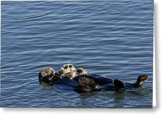 Sea Otters Greeting Card by Bob Gibbons/science Photo Library