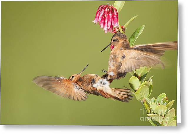 Shining Sunbeam Hummingbirds Greeting Card by Dan Suzio