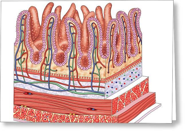 Small Intestine Greeting Card by Asklepios Medical Atlas