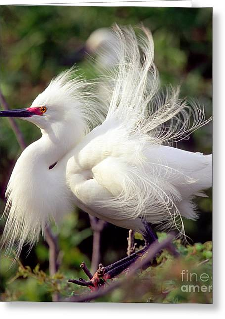 Snowy Egret Greeting Card by Millard H. Sharp