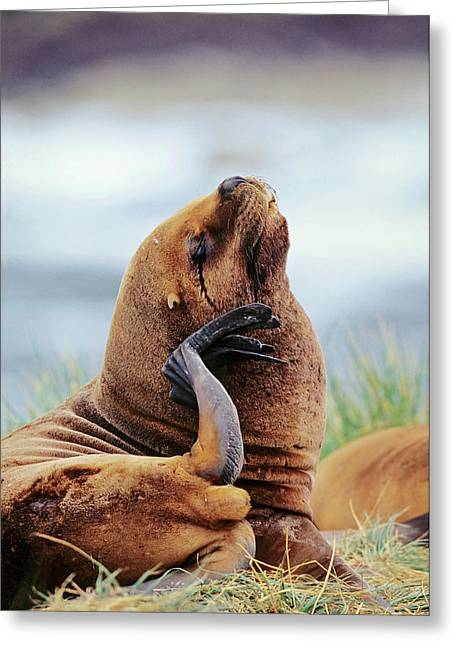 South American Sea Lion (otaria Greeting Card by Martin Zwick