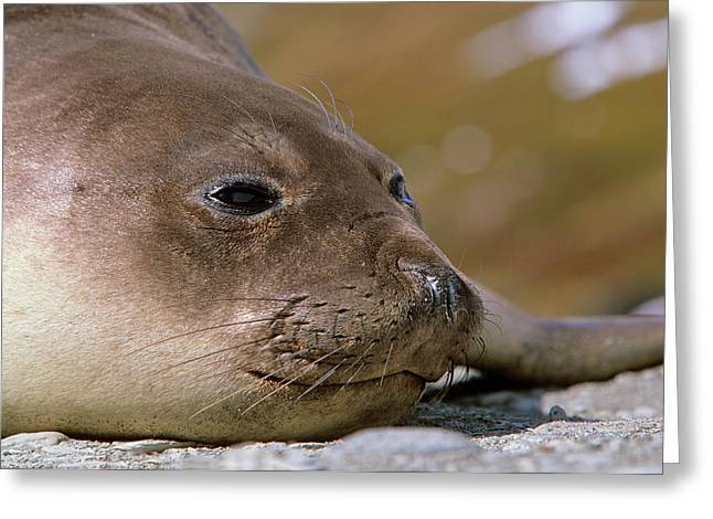 Southern Elephant Seal Female (cow Greeting Card by Martin Zwick