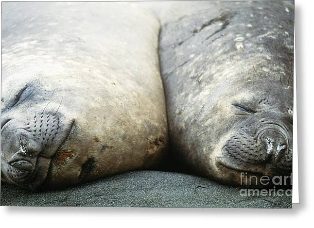 Southern Elephant Seals Greeting Card by Art Wolfe