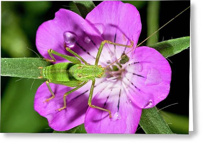 Speckled Bush-cricket On Corncockle Greeting Card