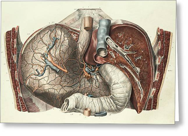 Stomach And Liver Greeting Card by Science Photo Library
