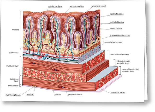 Stomach Wall Greeting Card by Asklepios Medical Atlas